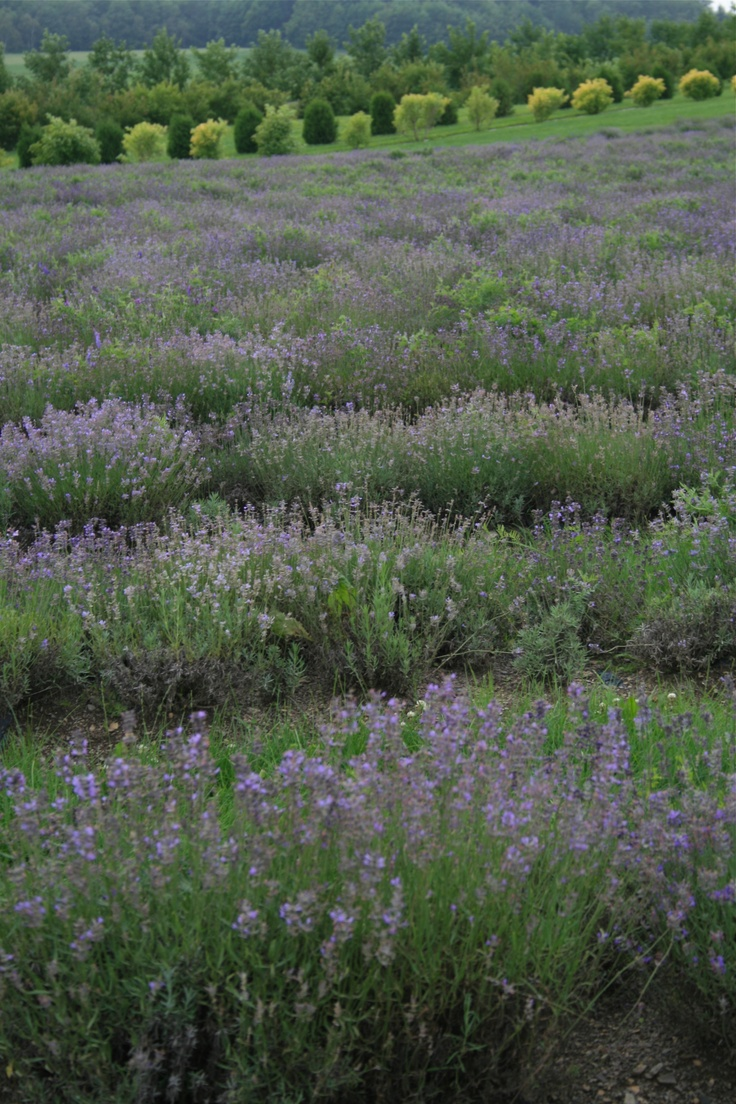 A lavender field in Ile d'Orléans, Quebec