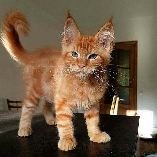 Xavi ! Maine Coon kitten.. look at that ferocious face!