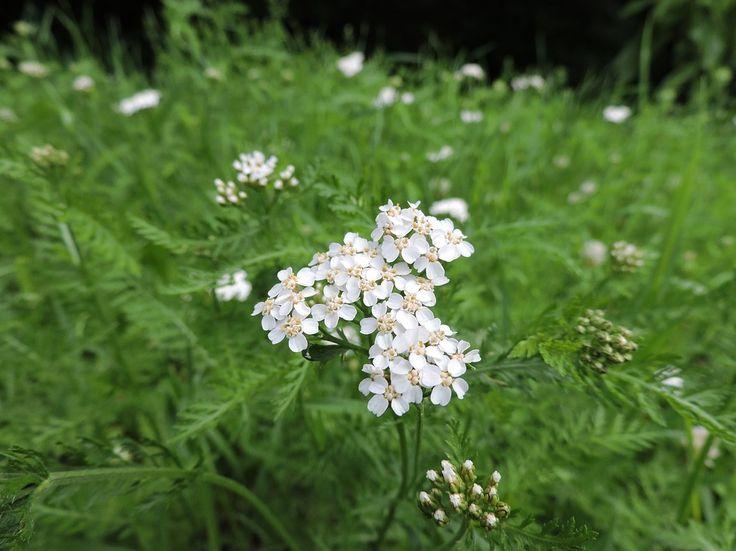 Řebříček: Univerzální bylina, která pomůže s léčbou takřka všeho