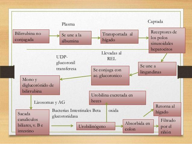 Captada  Plasma Bilirrubina no conjugada  UDPglucoronil transferesa Mono y diglucorónido de bilirrubina Lizosomas y AG Sac...