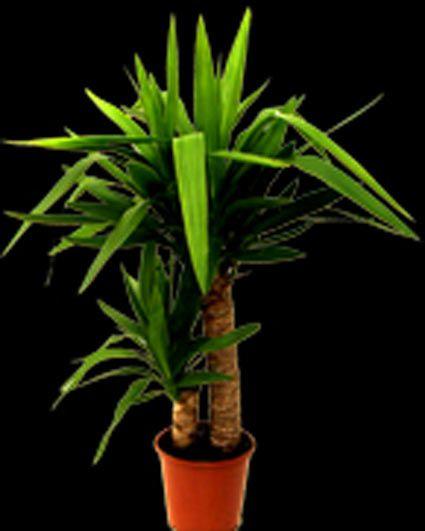La pianta di oggi: la Yucca  www.fioreriasarmeola.com