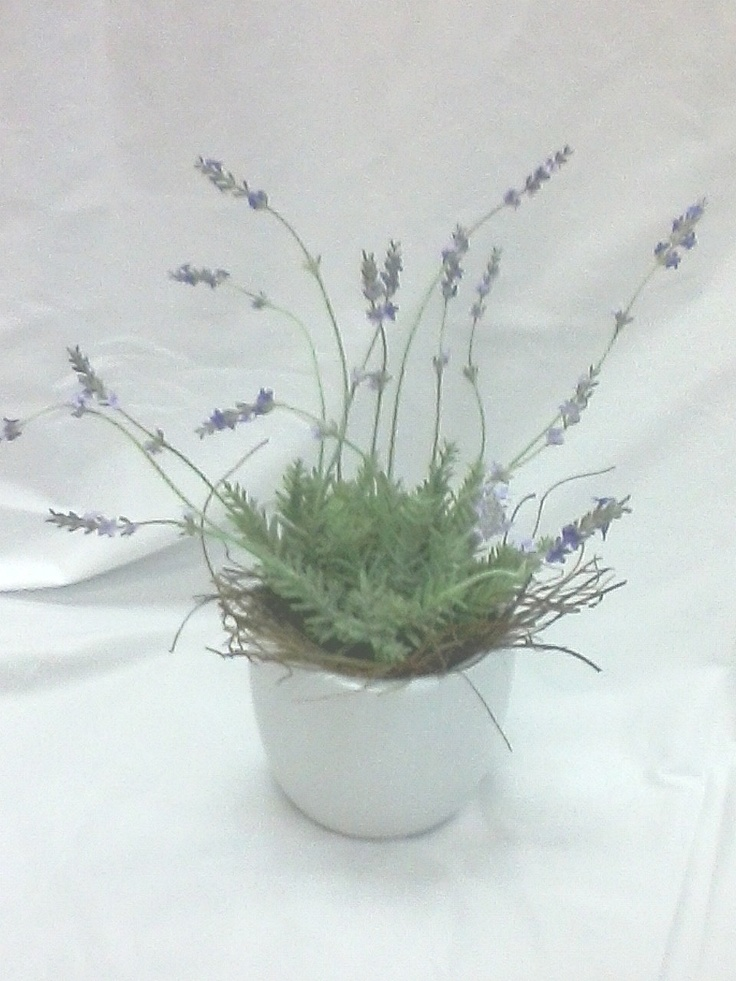 Fragrant Lavender Pot Plant from Sendabasketsa - Unley. South Australia. www.facebook.com/... All those special occasions. Flower arrangements and Poseys, Fresh and Silk sent seperately or include in your Gift Basket, Gourmet Hamper or Box, 'Mothers' Day' 'Fathers Day' 'New Baby' 'Anniversary' 'Birthday' 'Happy Easter' 'Merry Christmas', 'Congratulations - 'Promotion' 'New Job' 'New Home' and more.