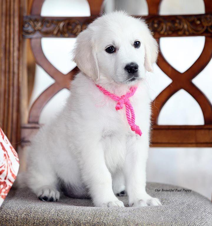 White Golden Retriever Puppies Akc Certified Nj In 2020 White Golden Retriever Puppy Golden Retriever White White Retriever