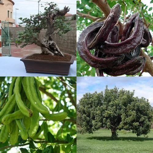 Carob Chocolate Tree - Ceratonia Siliqua - Exotic Evergreen Bonsai Tree - 5 Seeds