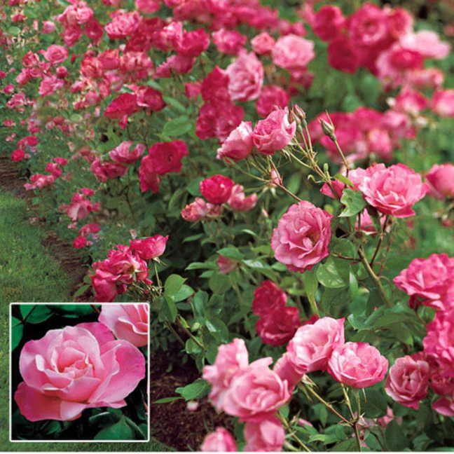 47 Best Roses Images On Pinterest