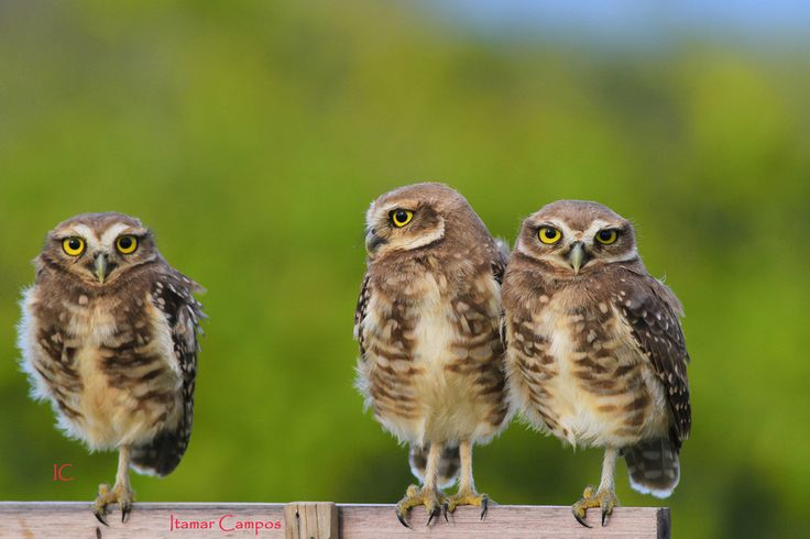 Photo owls! by Itamar Campos on 500px