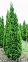 Columnar Arborvitae (Thuja occidentalis 'Degroot's Spire') | it grows to about 10 feet in height but only 18 inches in width.