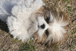 Llasa Apso Best Companion Dog Breed. Loves to Please.