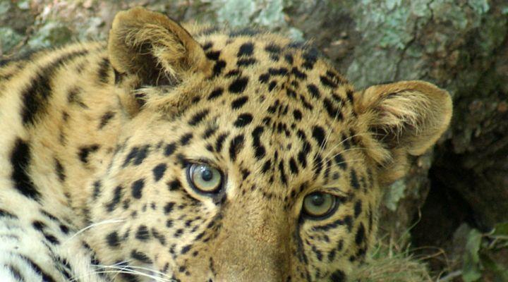 «Земля леопарда» — территория обитания самых северных и самых пушистых на планете леопардов и тигров. Туристы могут пройти по «Тропе леопарда» до настоящего логова редчайшего зверя.