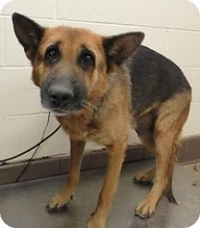 URGENT! Kill shelter! German Shepherd for adoption in Apple Valley, California - Cri-kee #161056