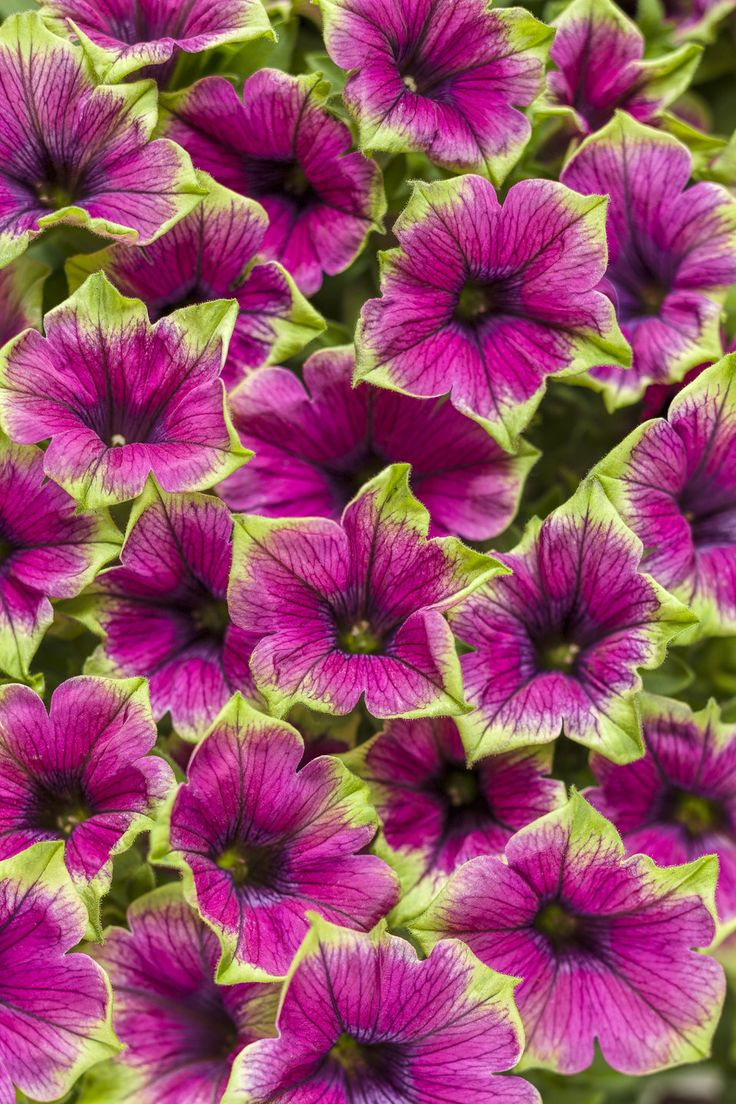 49 best annual flowers images on pinterest proven winners annual supertunia picasso in purple petunia hybrid izmirmasajfo Images