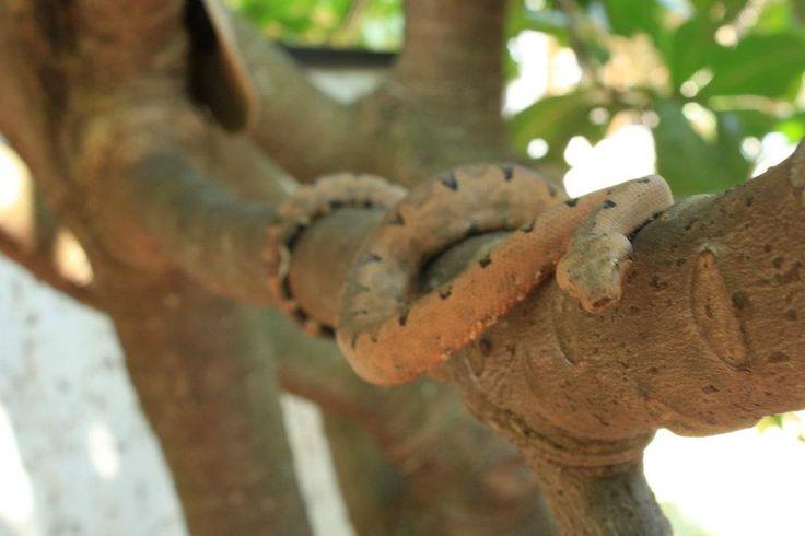 Candoia carinata poulsonii