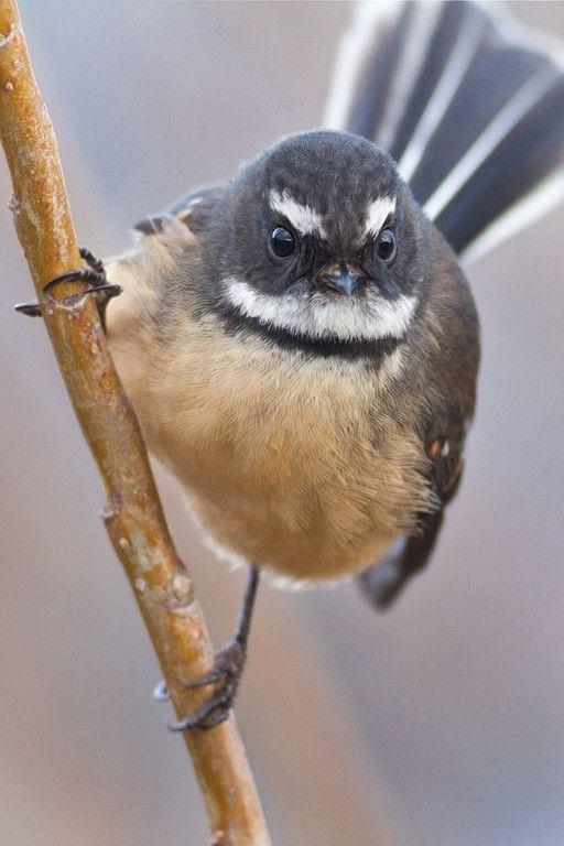 New Zealand Fantail Flycatcher