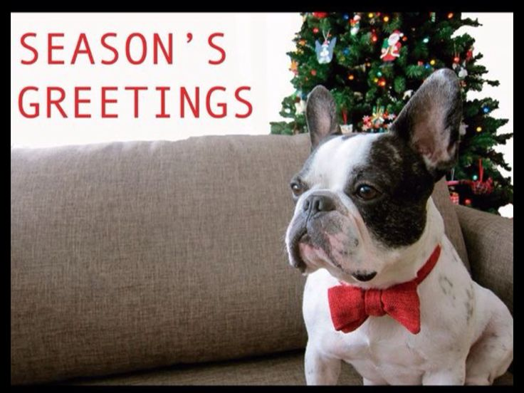 """Seasons Greetings!"", a rather Stoic French Bulldog at Christmas."
