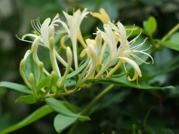14 Fragrant Plants That Make Your Home And Garden Smell Heavenly Fragrant Plant Plants Fragrant Flowers