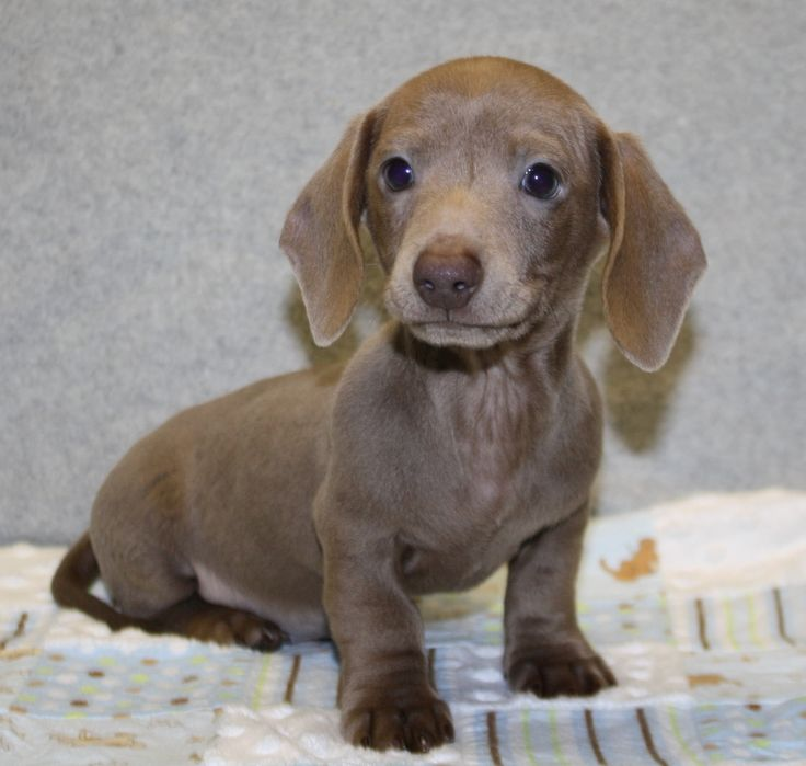 17 Best Ideas About Miniature Dachshund For Sale On