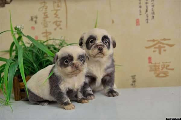 These little panda puppies are bred in Japan. They are that cute, yes.