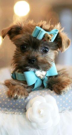 trop cute  Pomeranians For Sale