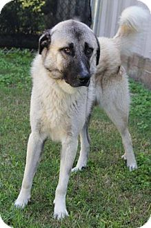 Little Rock Ar Anatolian Shepherd Great Pyrenees Mix