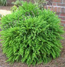 50 sztuk/Japonia-Japoński nasion cedr, boska zdrewniałe rośliny bonsai nasiona, doniczkowe drzewo roślin, herb nasiona, wyślij prezent, darmowa wysyłka(China (Mainland))