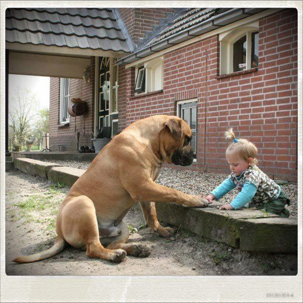 Unconditional love. Boerboel and kids