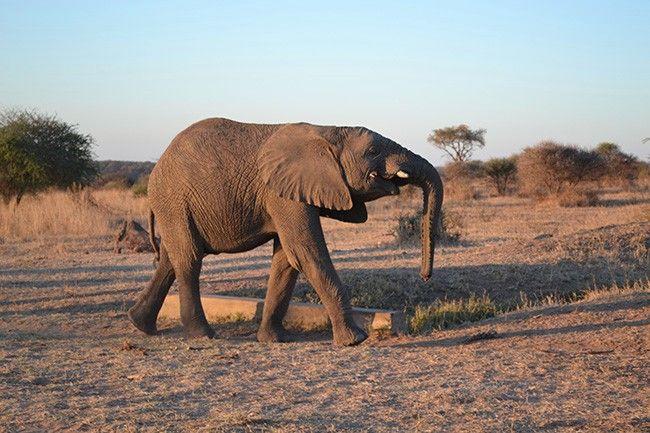 Spotlight on: Mambo the elephant http://campjabulani.com/spotlight-on-mambo-the-elephant-2/
