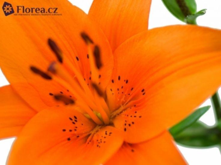 LILIUM AZ TRESOR http://www.florea.cz/lilium-1 #lilium #flowers