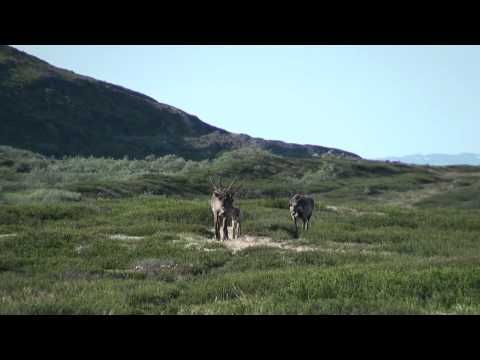 Rensdyrjagt på Grønland