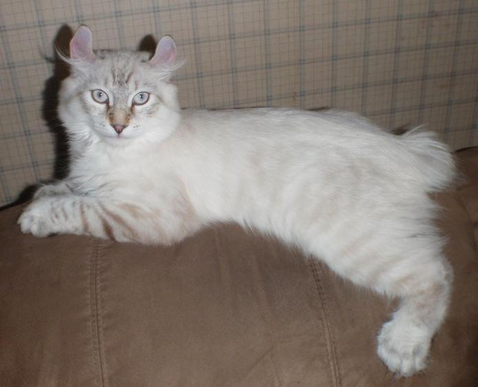 White Highlander Cat