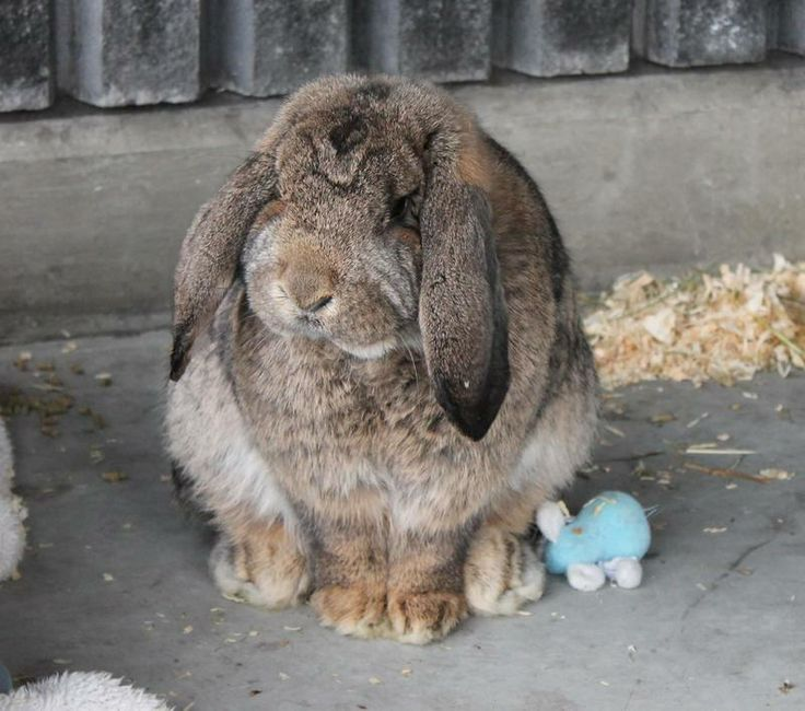 Petfinder  Adoptable | Rabbit | French-Lop | Delta, BC | Moe Moe