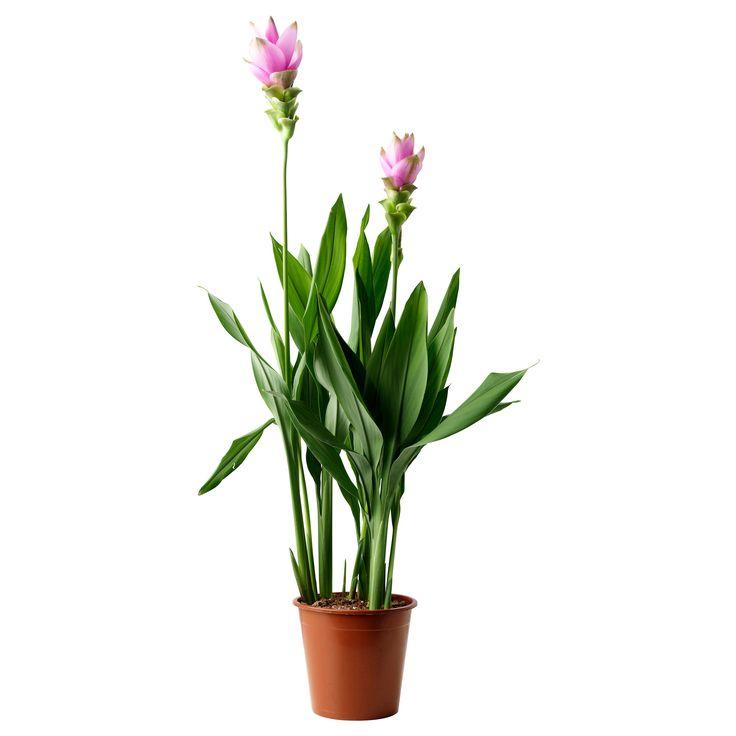 17 meilleures id es propos de curcuma planta sur for Plante curcuma