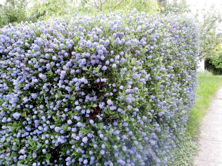 Ceanothus hedge in place of the trellis.  Is evergreen and can grow up to 3m, in time.