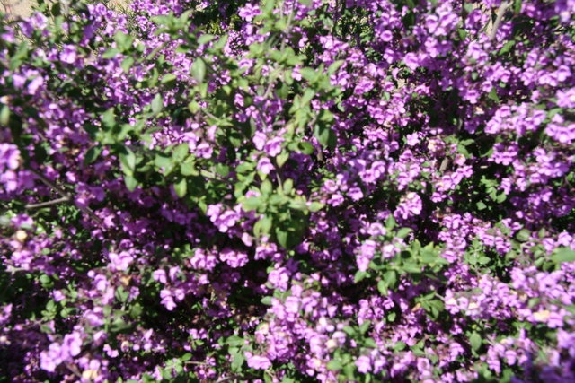 Prostanthera incisa (Australian Mint Bush) Planted May '12