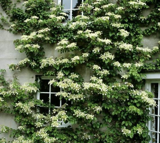 Seemannii Evergreen Climbing Hydrangea hydrangea seemannii Hydrangea seemannii is native to cloud forests of the Sierra Madre Occidental in Mexico. The extensive shade makes climbing to sunlight imper