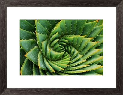 Cactus Background (Aloe Polyphylla) Print by LazingBee at Photos.com