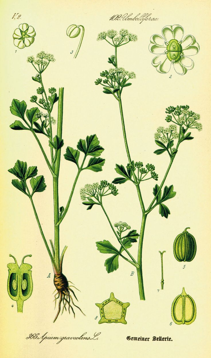 Illustration of Apium graveolens. The name of Selinunte derives from the name of the wild celery (sedano selvatico) (sélinon in Greek) which the Greek settlers found it in abundance and that was depicted as an emblem on the coins of the city.