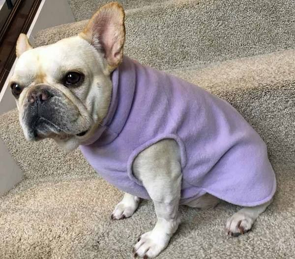 French Bulldog Frenchie Lavender Fleece Jacket With Stand Up