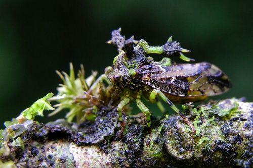 スメルダレア・ホレセンス(カメムシ目:ツノゼミ科:Stegaspidinae亜科)