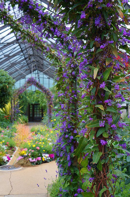 Hardenbergia Happy Wanderer Garden Variety Pinterest