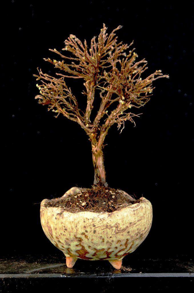 Eine Pflanze von Ulrich Fendrich + eine Schale von mir = ein tolles Bild   www.bonsai-werkstatt-fendrich.de.