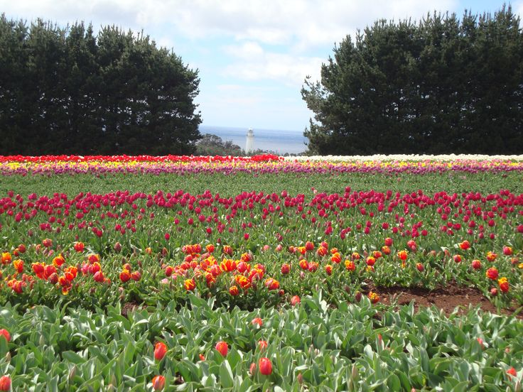 Lighthouse in the distance at the Table Cape Tulip Farm
