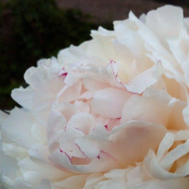 Pionen överlevde och doftar förföriskt gott❤ Mer av denna ljuvliga pion hittar ni nu på bloggen Länk i profil. #pion #blommor #trädgård #växter #blogg #blogginlägg #blogpost #nyttblogginlägg