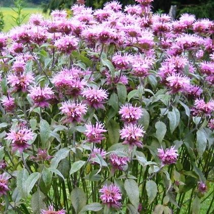 "Grow Heirloom Bee Balm - Plant Wild Bergamot SeedsFamous for its beauty and its fragrance, Bee Balm, also known as Wild Bergamot, is an old flower garden favorite. And did you know that Bee Balm is one of the best attractors of beneficial butterflies, hummingbirds, and bees? All in all, Bee Balm is a ""must"" for any garden."