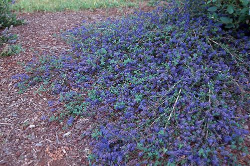 Ceanothus 'Centennial' Low growing groundcover Hardy from zones 5-10. Blue flowers in spring and again in summer. Glossy dark evergreen leaves.