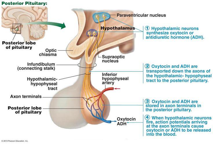 relationship between prolactin and oxytocin are
