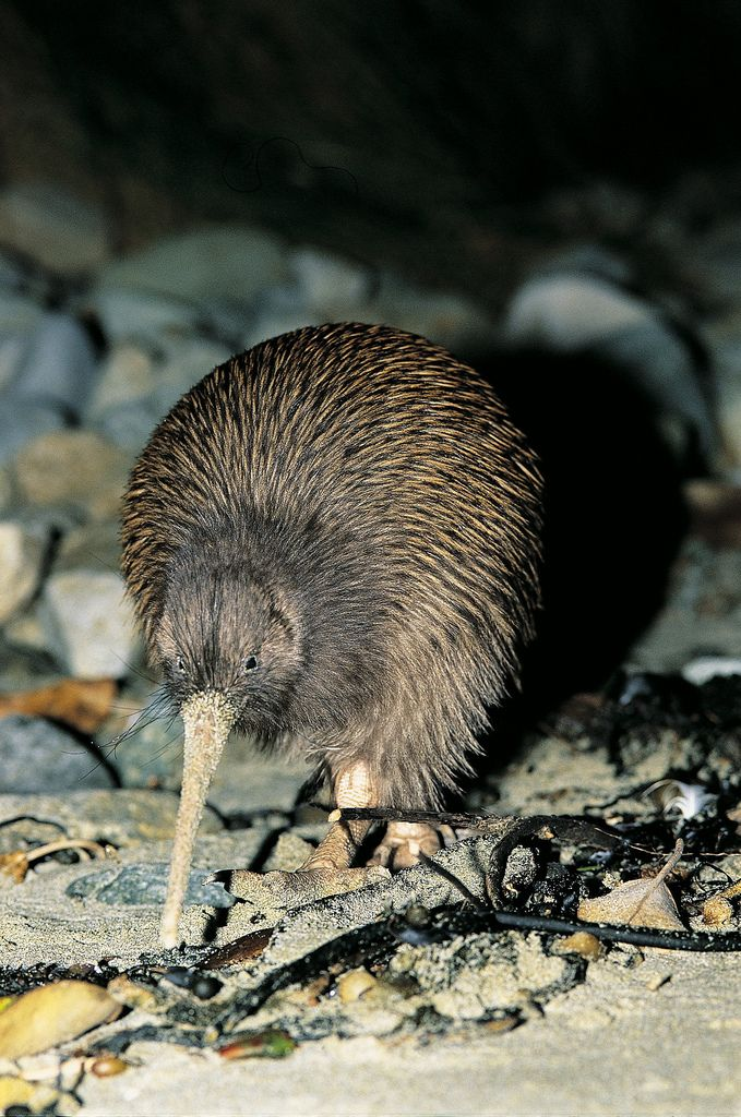 Brown kiwi are found on Stewart Island and can be seen at night as well as during the day which is unique for Stewart Island and is due to the long day light hours on Southern New Zealand.