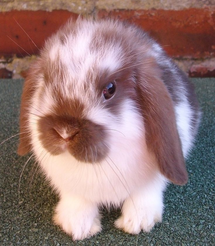 1000+ Images About Mini Lops On Pinterest