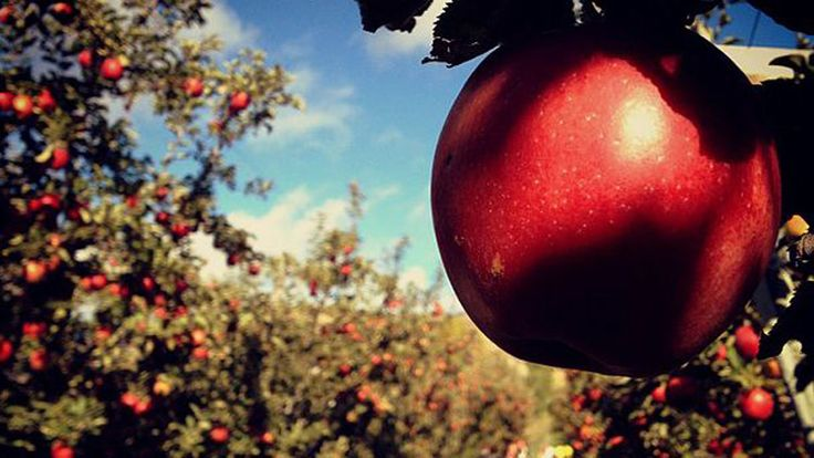 Apple Picking on Long Island 2014: Where to Pick Your Apples
