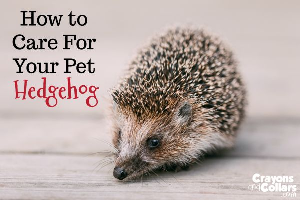 Are you interested in learning more about pet hedgehog care, hedgehog diet or hedgehog facts? Here's how to keep your little hedgie happy and healthy.