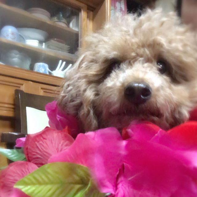 そして、私に遊ばれて 迷惑そうなルル(笑) * *  #トイプードル#プードル#レッドプードル #レッドプー#ワンコ#犬#dog#doggy#愛犬 #親バカ#犬バカ#カメラ嫌い部#love#ラブリー #相思相愛#溺愛#ラブラブ#いぬ#kaumo #ペット#メロメロ#つぶらな目#ふわもこ #ボサボサ#おっさん顔#癒し #わんこなしでは生きていけません